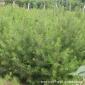 山东苗木基地现挖现卖优质白皮松 绿化工程苗白皮松大量批发