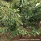 山东苗木基地专业直销优质板栗树 规格齐全多样 长期低价批发